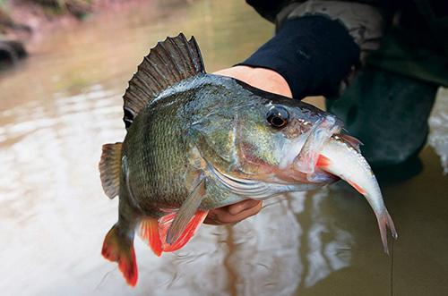 ловля окуня на живца на малых реках видео